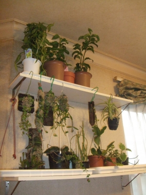 室内は観葉植物であちこちいっぱい~( 一一)ホヤ、ディスキッディア、葦サボテン、バニラ、アナナスなど~2013.12.18