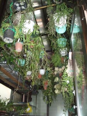 室内に取り込んだ観葉植物いろいろ~葦サボテン、ホヤ、洋ラン、アナナスなどなど~4月いっぱいくらいまで室内養生です。2013.12.18