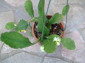 リプサリス 星座の光(せいざのひかり)Rhipsalis pachyptera~凍結被害から生き残った株が今年再び咲いてくれました♪2013.12.08