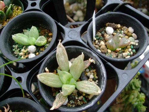 ブルビネ メセンブリアントイデス~なんとなくタイプ違い葉先が伸びていたり、潰れてたり大きさも違います。2013.12.23