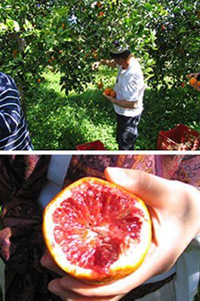 シチリアといえばブラッディーオレンジ 香りの強い中身が赤いみかん